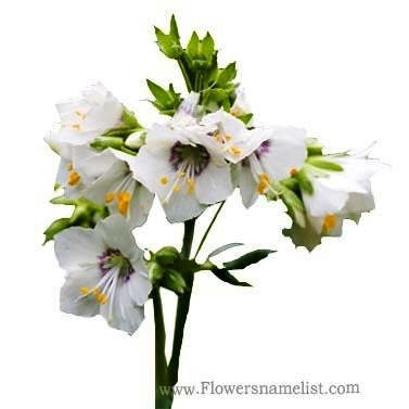 White flowers name and pictures flowers healthy jacobs ladder yellow white flowers that start with j flowers name list mightylinksfo