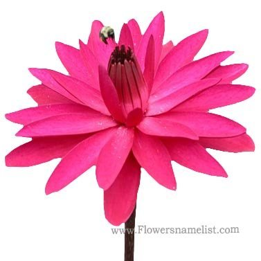 Water Lily Pink Flower