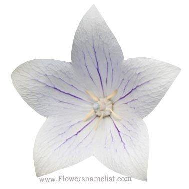 Balloon platycodon White Flower