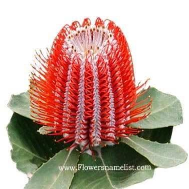 Banksia coccinia Scarlet