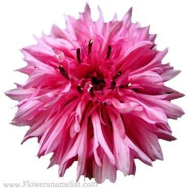 Bee Balm pink