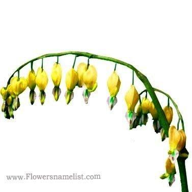 Beeding heart Dicentra spectabilis yellow