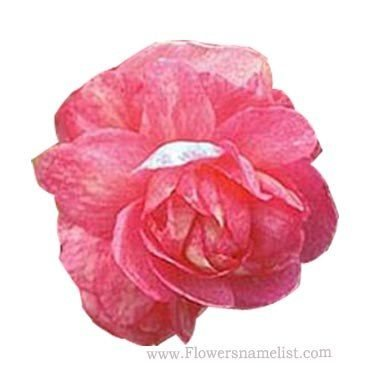 Begonia Lady Francis