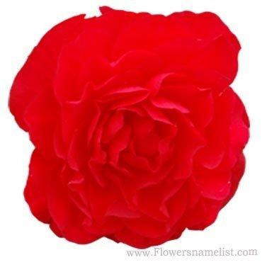 Begonia Nonstop Deep Red
