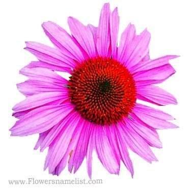 Black Eyed Susans Pink