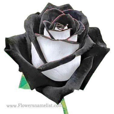 Black Rose Halfatty