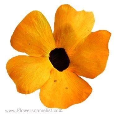 Black eyed Susan vine flowers