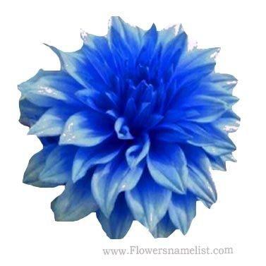 Blue Beard Dahlias