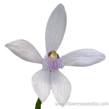 Blue Beard Orchid White