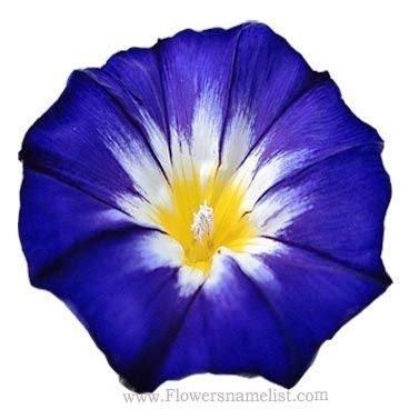 Blue Bush Morning Glory