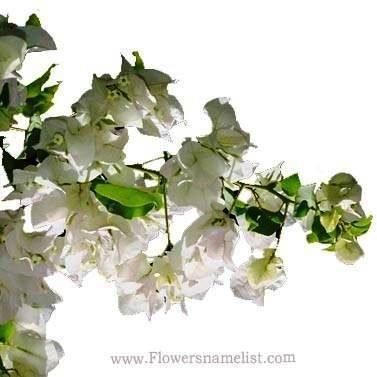 Bougainvillea white
