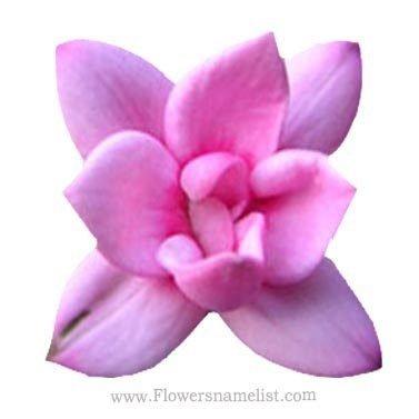Bouvardia Double Lilac