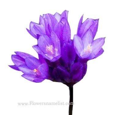 Brodiaea California Purple
