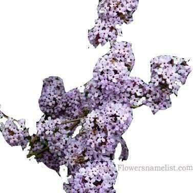 Buddleja alternifolia fleur