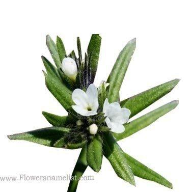 Buglossoides arvensis
