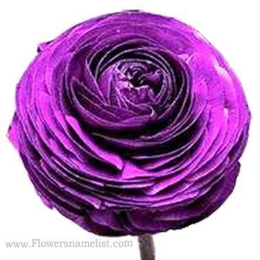 Buttercup Persian Purple Ranunculus