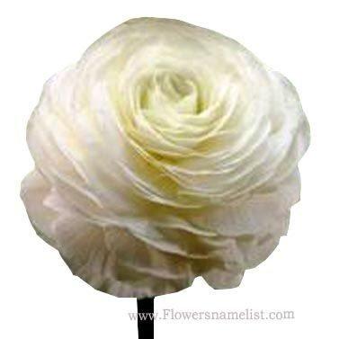 Buttercup White Persian