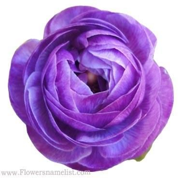 Buttercups Purple Persian