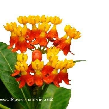 Butterfly Mexican Weed (Orange)