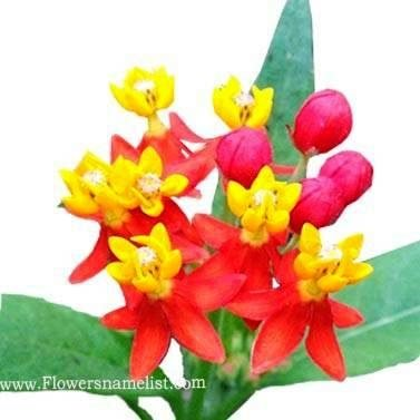 Butterfly Weed Mexican