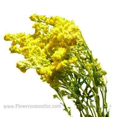 Butterfly Weed yellow