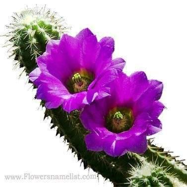 Cactus purple Flower