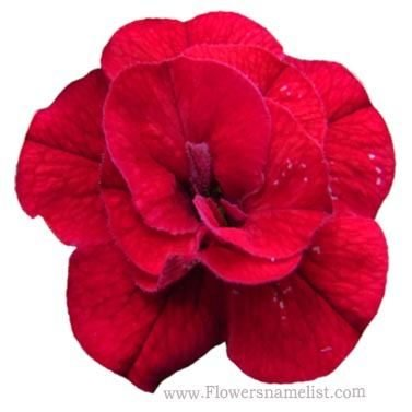 Calibrachoa Superbells Double Red
