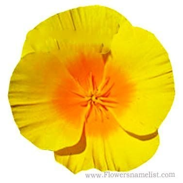 California poppy Yellow flowers