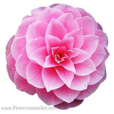 Camellia State Flower of Alabama