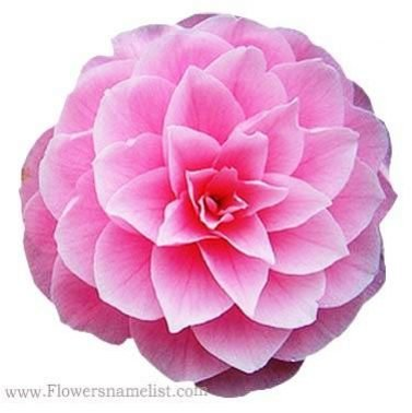 Camellia State Flower of Alabama