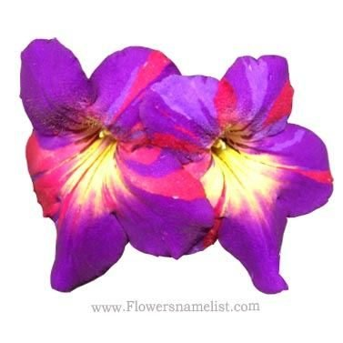 Cape Primrose ink blot