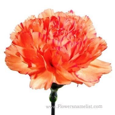 Carnation Orange Flower