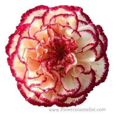 Carnation Red & White