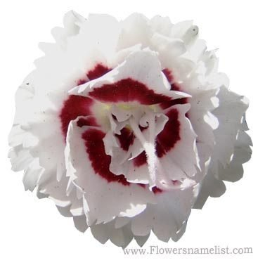 Carnation Single Red and White