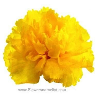 Carnation yellow