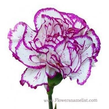 Carnations Purple And White