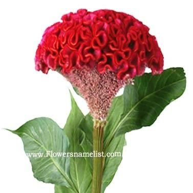 Celosia Fresh Dark Red