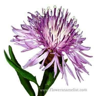 Centaurea jacea Brown Knapweed