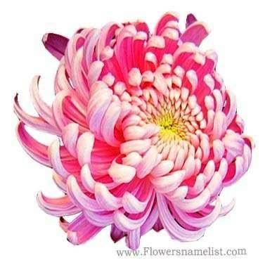 Chrysanthemum Bicolor Pink Yellow