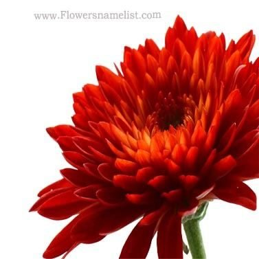 Chrysanthemum Cool Red