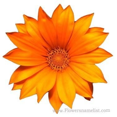 Chrysanthemum Gazania Orange