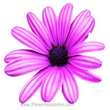 Chrysanthemum Gazania Purple Red