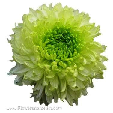 Chrysanthemum Green Peony