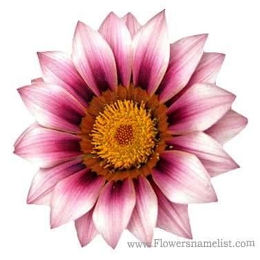 Chrysanthemum Pink white Flower