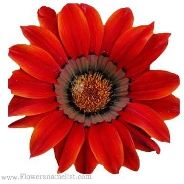 Chrysanthemum Red Gazania