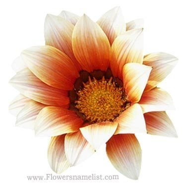 Chrysanthemum Yellow white