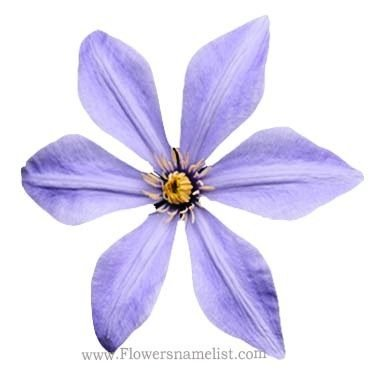Clematis Sugar sweet blue