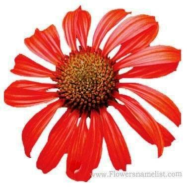 Coneflower Hybrid Red