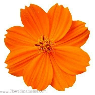 Coreopsis Aster Orange