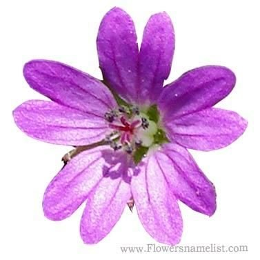 Cranesbill (Doves Foot)
